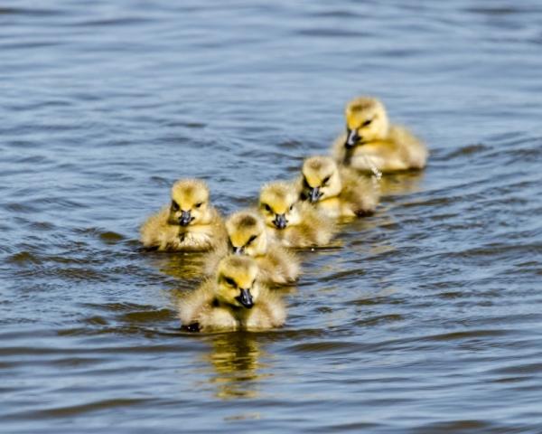Gosling fleet